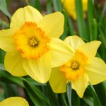 daffodils_250x201
