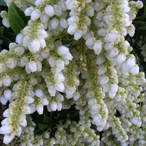Pieris-Pieris-japonica-'Cavatine'-White